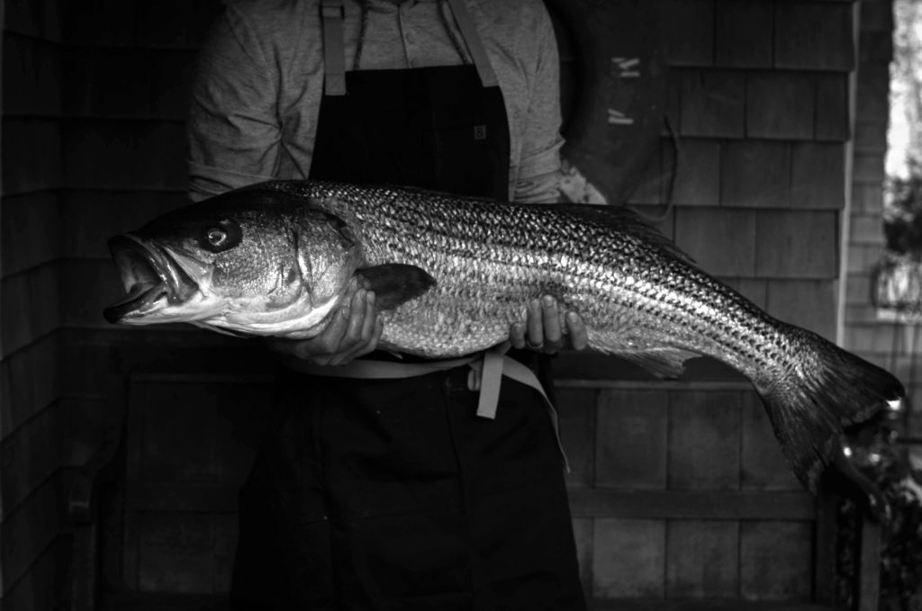 25 pound striped bass